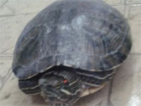 Обитательница Ботанического сада г.Петропавловск черепаха Тортила | Фото автора