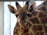 Новорожденного жирафенка в Алматы назвали Хан Тенгри Фото ©Владимир Прокопенко